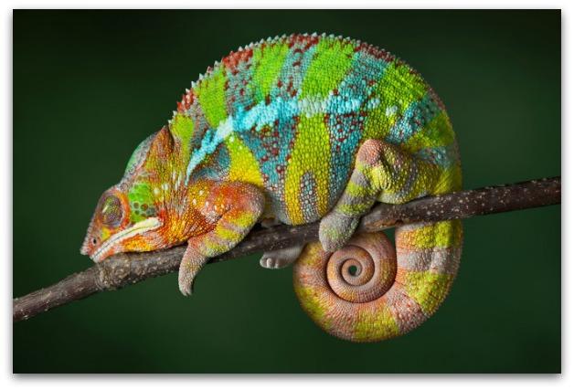 Il camaleonte curiosit dal mondo degli animali for Quali sono i rettili
